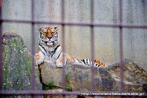 アムールトラ 東山動物園
