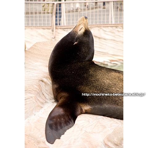 カリフォルニアアシカ 東山動物園
