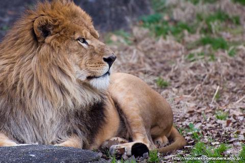 東山動物園 ライオン サン